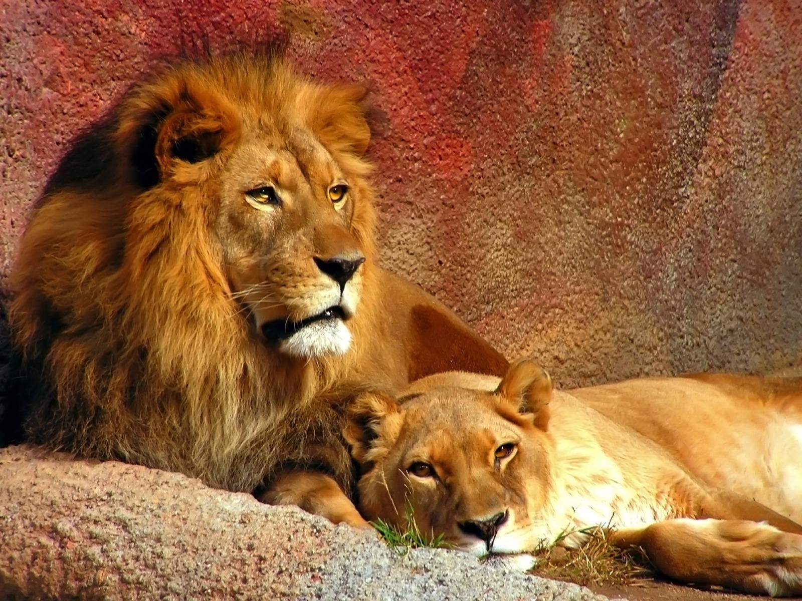 Lion Wallpapers | 3D Wallpaper | Nature Wallpaper | Free Download Wallpaper