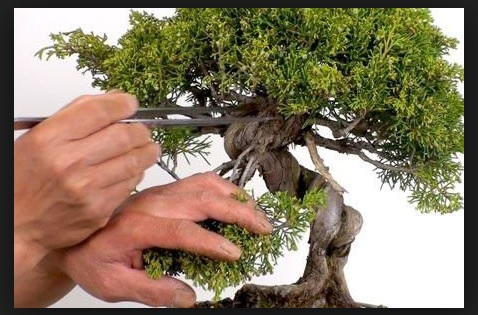 Bonsai care image
