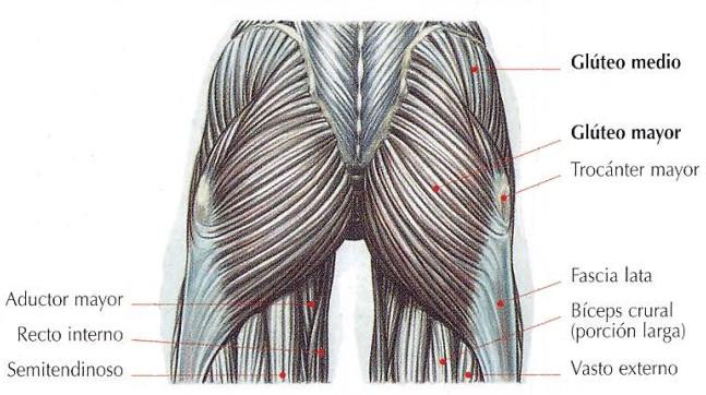 Anatomía del gluteo vista posterior