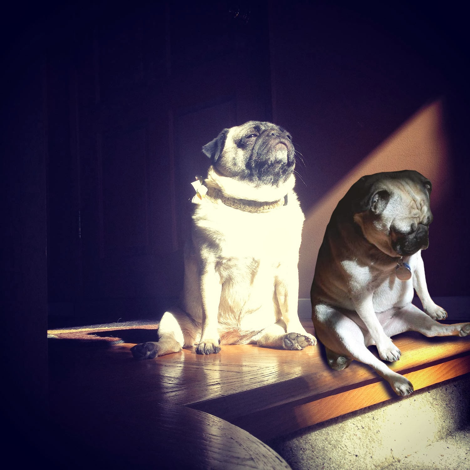 5701662f915 Majestic Looking Pug in the Sun and More