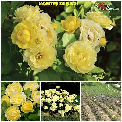 Žute ruže, sadnice