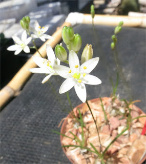 Nicipe lithopsoides var. R140520A(nova)