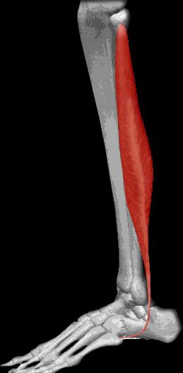 Músculo peroneo lateral largo | iinmed