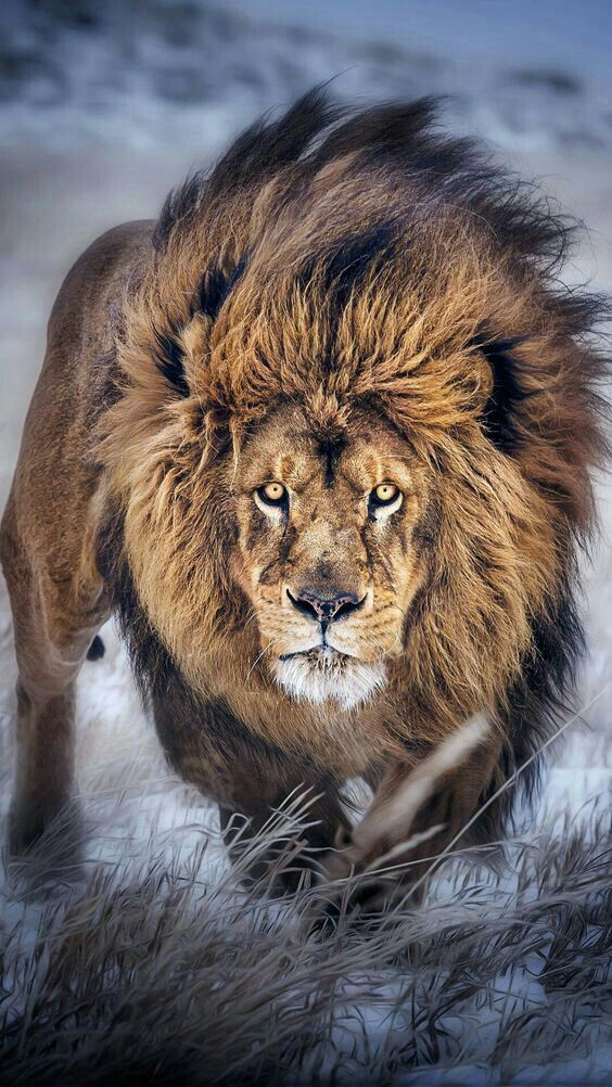 Powerful Lion Tattoos Ideas