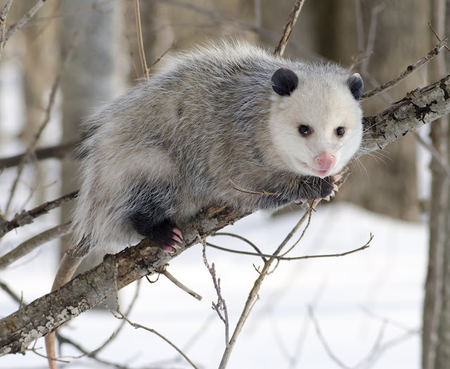 What is Opossum? Facts and information 3