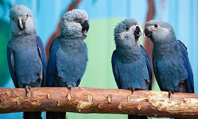 Spix Macaw Extinct