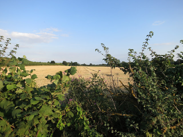 Harvester (wheat?) field stretches into the distance beyond a brambly hedge.