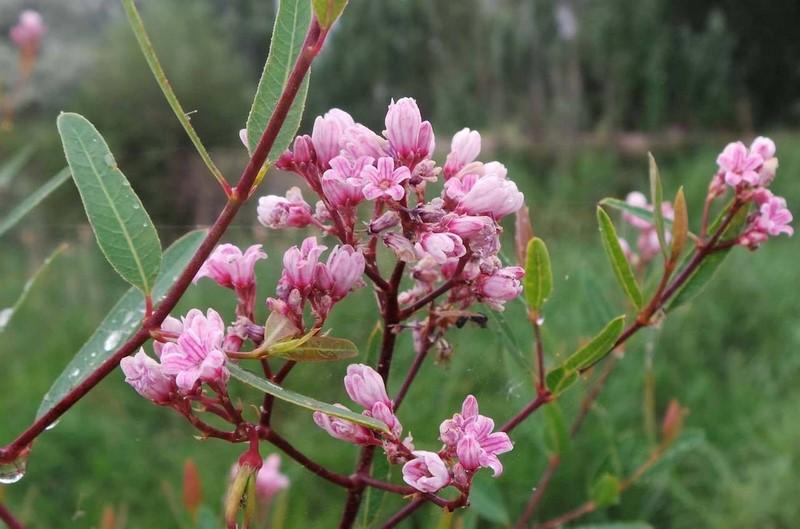 Apocynum venetum ssp. lancifolium