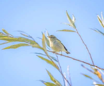 #61 Yellow-browed Warbler