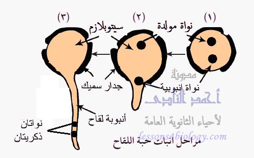 مراحل إنبات حبة اللقاح
