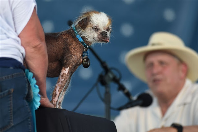 Chinese Crested - Tee Tee