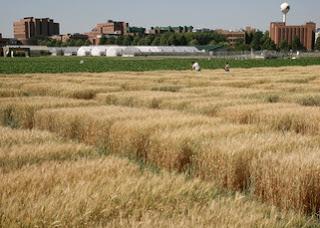 small-grains-test-plots