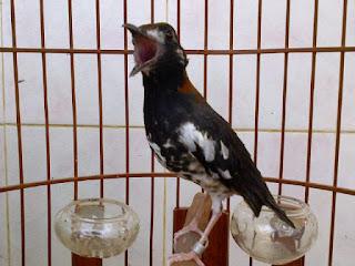 Persyaratan Yang Harus Di Penuhi Importer Untuk Mendatangkan Burung Kenari Ke Dalam Negri