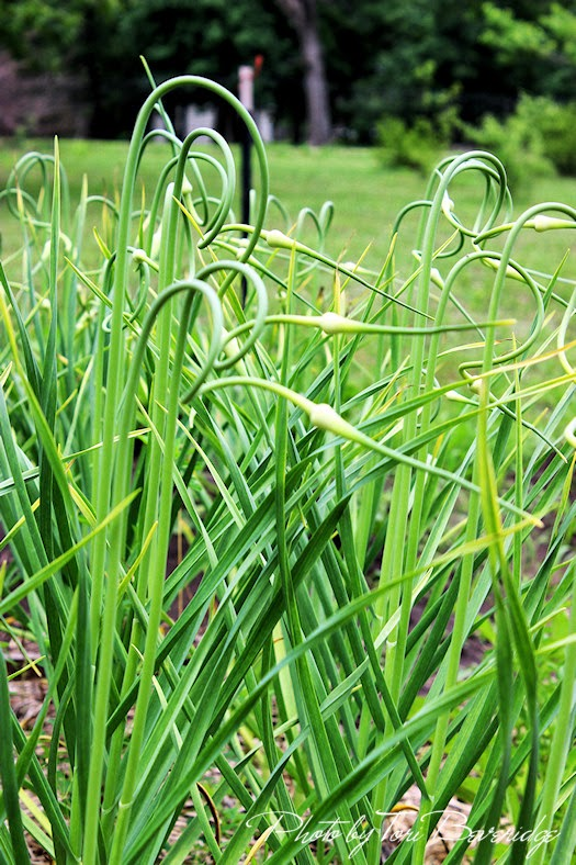 Garlic Scapes Photo by Tori Beveridge