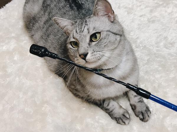 壊れた猫じゃらし(の棒)を見つめるサバトラ猫