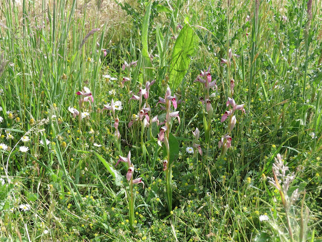 Greater Tongue Orchids - Tiptree, Essex