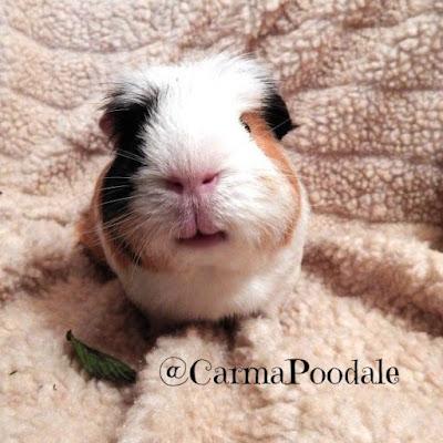 calico guinea pig smiling