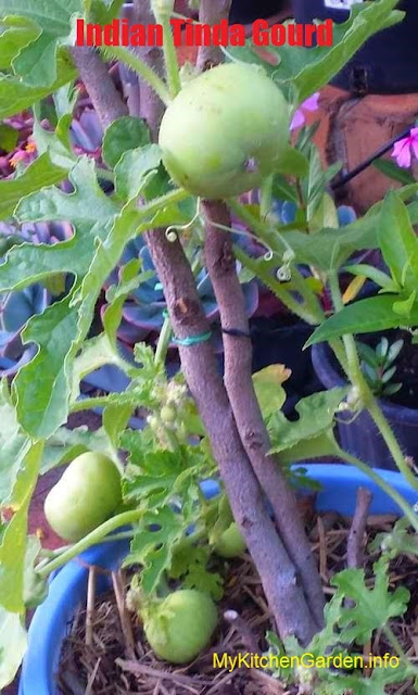 Tinda vine growing in a pot. Note the good size fruits.