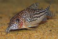 Jenis Ikan Corydoras pinheiroi