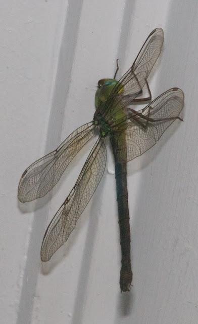Heliaeschna simplica female