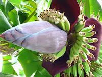 केले के फूल को खाने से होते हैं ये अद्भुत फायदे :