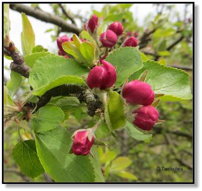 Blüten vom Apfelbaum