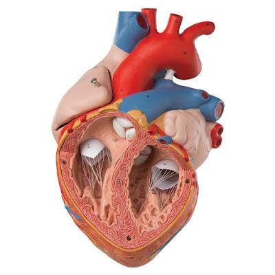 Hjertemodeller fra eAnatomi