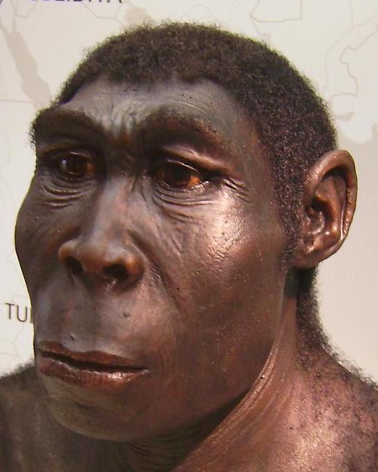 Manusia Purba Homo Wajakensis : manusia, purba, wajakensis, Manusia, Purba, Indonesia:, Fosil, Erectus