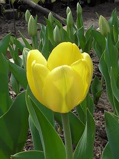 Мои тюльпаны, 10 мая