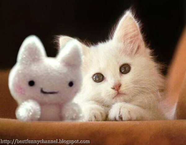 White kitten and toy.