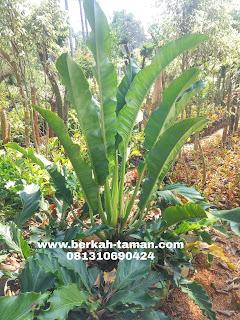 pohon philo pisang