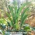 Jual Pohon Philo Pisang - Harga pohon Philo Pisang - Jual tanaman hias 081310690424
