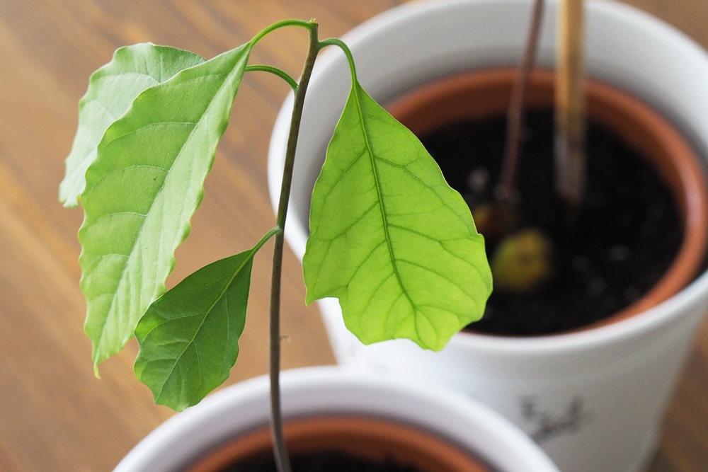magnoliaelectric einen avocadokern ziehen teil 2. Black Bedroom Furniture Sets. Home Design Ideas
