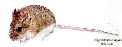 Morgan´s Gerbill Mouse
