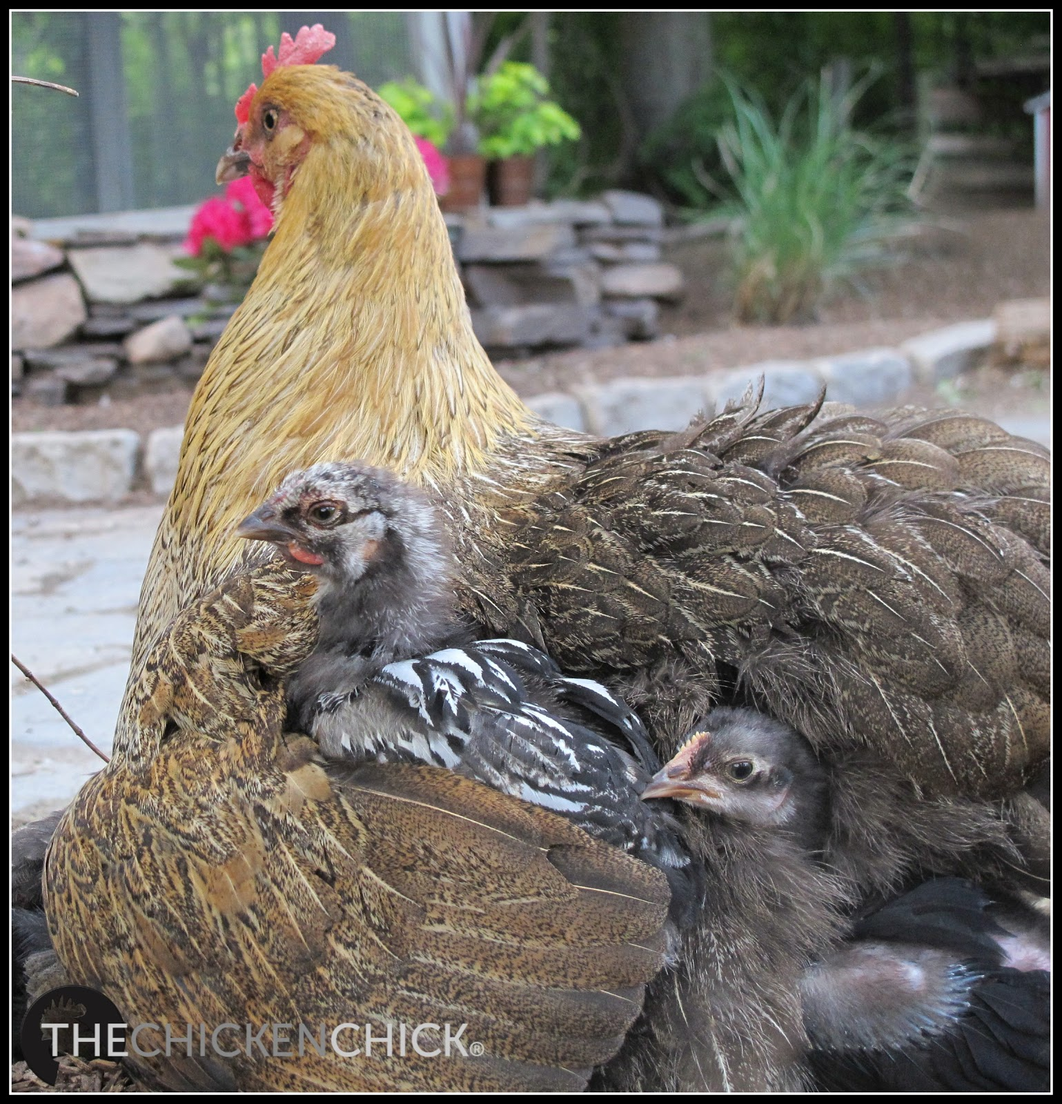 How Much Heat Do Chicks Really Need Think Like A Mother Hen The Chicken Chick 174