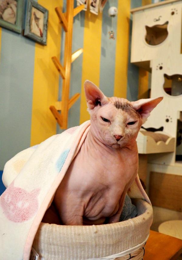 yoda sphynx cat