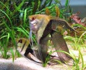 Inilah Jenis-Jenis Ikan Manfish/(Angelfish) Super Veil