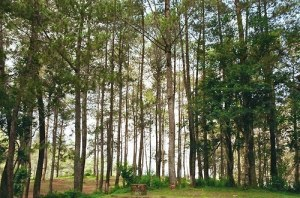 hutan gunung tangkuban perahu diwisata cikole lembang