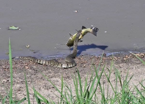 snake captures a cat fish