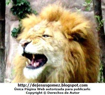 Imagen de Léon rugiendo en el Parque de las Leyendas. Foto del león de Jesus Gómez