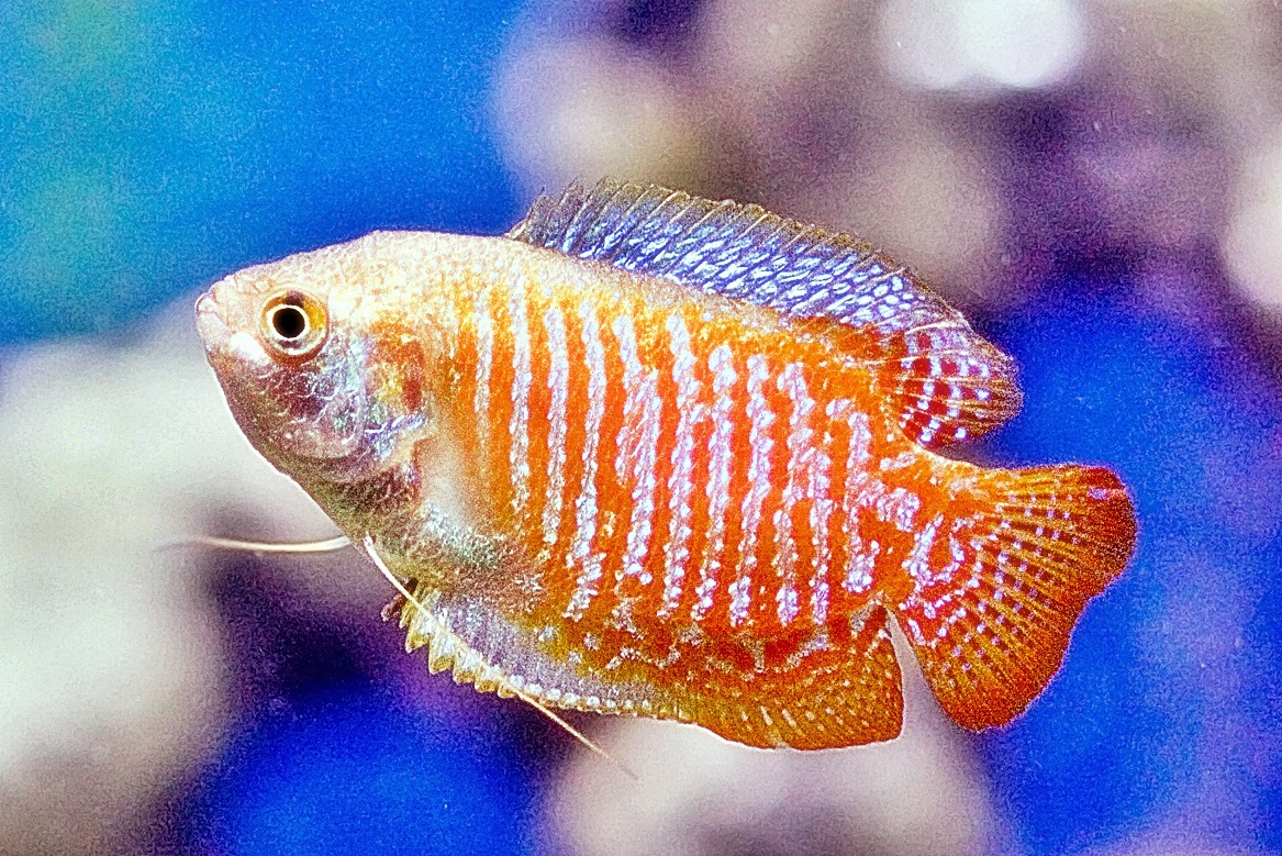 ikan gurame hias mini