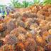 'Verbod op palmolie is slecht voor het milieu'