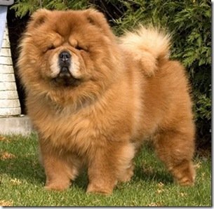 The Dog In World Chow Chow Dogs