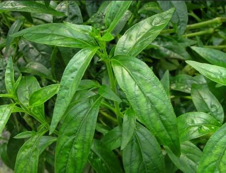 Tanaman Herbal Untuk Mengobati Penyakit Liver