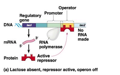Mekanisme Kerja Lac Operon Pada Bakteri E coli