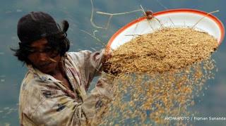Pemerintah Siap Beli Beras Petani Rp7.300 Per Kilogram