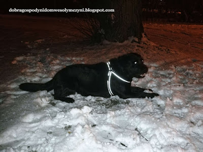 pies bezpieczny na spacerze