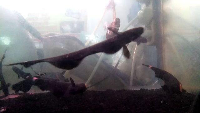 Perbedaan jantan dan betina ikan black ghost