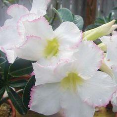 Gambar Bunga Adenium yang Unik dan Cantik 17