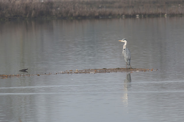 Another Image of a Grey Heron